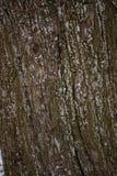 Vecchia fine della corteccia di albero su Immagine Stock