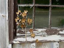 Vecchia finestra con la pittura della sbucciatura e l'erbaccia secca Fotografia Stock
