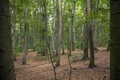 Vecchia foresta del faggio in autunno Immagini Stock Libere da Diritti