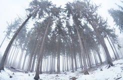 Vecchia foresta di conifere in nebbia di inverno Immagini Stock Libere da Diritti