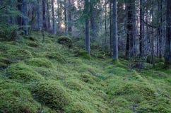 Vecchia foresta di conifere non trattata Immagini Stock