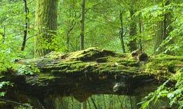 Vecchia foresta e quercia guasto Immagini Stock Libere da Diritti