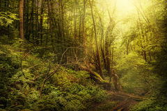 Vecchia foresta magica Fotografia Stock Libera da Diritti