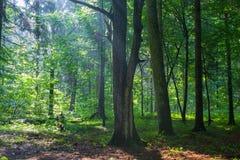 Vecchia foresta naturale alla pioggia di alba appena dopo Fotografia Stock