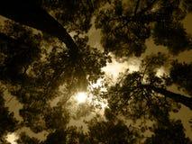 Vecchia foresta sotto il cielo dorato Immagini Stock