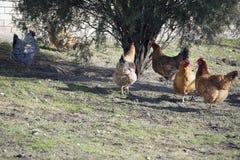 Vecchia gallina Fotografia Stock Libera da Diritti