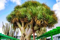 Vecchia grande dracena delle Canarie verde, isole Canarie, Spagna fotografia stock