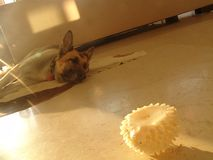 Vecchia indicazione del cane, stanca sul pavimento davanti ad un giocattolo di gomma nella parte anteriore fotografie stock