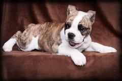 Vecchia menzogne inglese del cucciolo del bulldog Immagini Stock Libere da Diritti