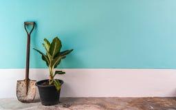 Vecchia pala con le piccole piante sulla menta, ciano parete pastello del cemento Fotografia Stock