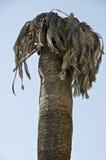 Vecchia palma Fotografia Stock Libera da Diritti