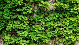 Vecchia parete dell'edera Fotografia Stock Libera da Diritti