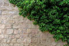 Vecchia parete di pietra con l'edera come fondo Fotografia Stock