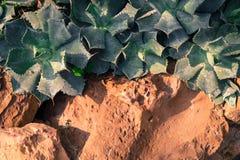 Vecchia parete di pietra con l'edera, il cactus e l'erba come struttura del fondo Fotografie Stock