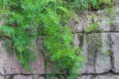 Vecchia parete di pietra con l'edera su  Natura, vita della campagna fotografia stock