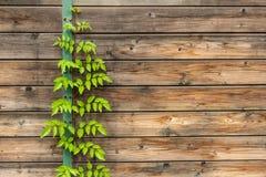 Vecchia parete rustica di legno con lo scalatore del cespuglio fotografie stock