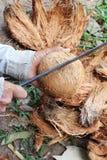 Vecchia pelle asiatica della noce di cocco del taglio manuale con il knift del ferro Immagini Stock