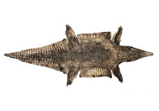 Vecchia pelle dell'alligatore Fotografia Stock