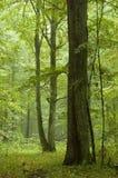 Vecchia pioggia della quercia dopo Fotografie Stock