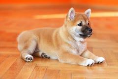 Vecchia posa del cucciolo di poche settimane nello studio della foto immagine stock