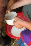 Vecchia povera mucca di mungitura dell'agricoltore della donna Fotografie Stock Libere da Diritti