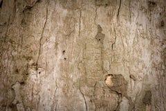 Vecchia priorità bassa della corteccia di albero Immagine Stock Libera da Diritti