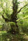 Vecchia quercia Immagine Stock Libera da Diritti