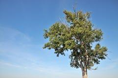 Vecchia quercia Fotografia Stock Libera da Diritti