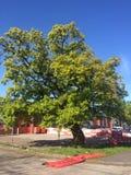 Vecchia quercia Immagini Stock