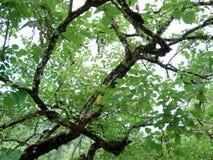 Vecchia quercia Immagini Stock Libere da Diritti