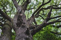 Vecchia quercia Fotografie Stock Libere da Diritti