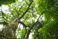 Vecchia quercia. fotografie stock libere da diritti