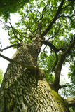Vecchia quercia. fotografia stock libera da diritti