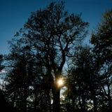 Vecchia quercia al tramonto Fotografia Stock