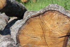 Vecchia quercia del taglio Fotografia Stock Libera da Diritti