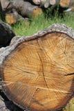 Vecchia quercia del taglio Fotografie Stock