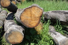 Vecchia quercia del taglio Fotografie Stock Libere da Diritti