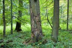 Vecchia quercia guasto ed alberi verdi Immagine Stock