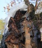 Vecchia quercia incrinata Fotografie Stock
