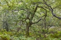 Vecchia quercia nella riserva di biosfera di Muniellos della foresta Asturia fotografia stock