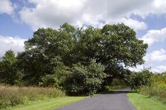 Vecchia quercia rossa Fotografia Stock Libera da Diritti