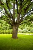 Vecchia quercia in un parco della città, Mosca, Russia Immagine Stock