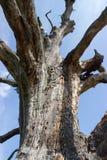 Vecchia quercia unica asciutta Fotografia Stock Libera da Diritti