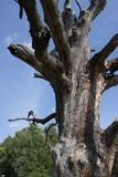 Vecchia quercia unica asciutta Fotografie Stock