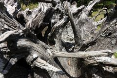 Vecchia radice dell'albero nel giardino fotografie stock libere da diritti
