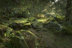 Vecchia scena dell'abetaia Fotografia Stock