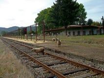 Vecchia stazione ferroviaria con le pecore nel sud del Cile Immagini Stock Libere da Diritti