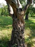 Vecchia struttura dell'albero Immagine Stock Libera da Diritti