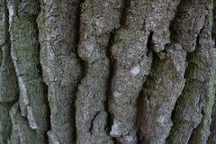Vecchia struttura della corteccia della quercia Fotografia Stock Libera da Diritti