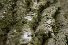 Vecchia struttura della corteccia della quercia Fotografie Stock